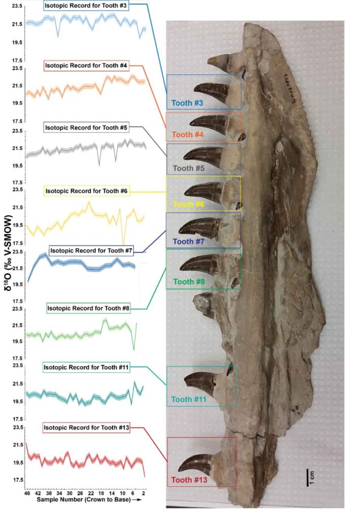 Fossil mosasaur jaw with teeth and oxygen isotope graphs of each tooth